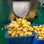 peeled potato by the potato cleaning machine