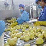 picking potatoes in making potato chips